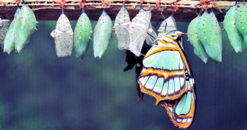 A row of cocoons and one butterfly